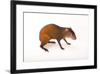 Red-Rumped Agouti, Dasyprocta Leporina, at Omaha Zoo's Wildlife Safari Park-Joel Sartore-Framed Photographic Print