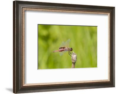 Red Saddlebags (Tramea onusta) male, Marion County, Illinois-Richard & Susan Day-Framed Photographic Print