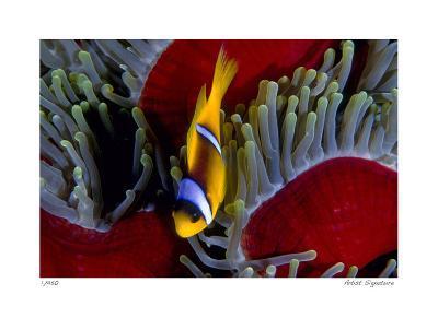 Red Sea Anemonefish-Jones-Shimlock-Giclee Print