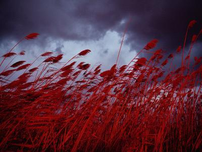 Red Sea Oats Blow in the Wind-Medford Taylor-Photographic Print