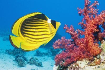 https://imgc.artprintimages.com/img/print/red-sea-racoon-butterflyfish_u-l-pzehqv0.jpg?artPerspective=n