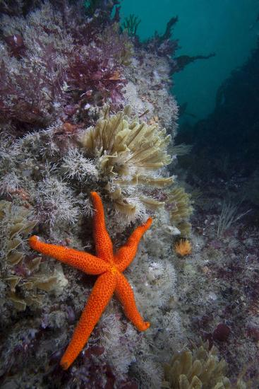 Red Sea Star (Echinaster Sepositus) and Bryozoans Fauna. Channel Islands, UK July-Sue Daly-Photographic Print