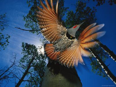 Red Shafted Northern Flicker in Flight Seen from Below-Michael S^ Quinton-Photographic Print