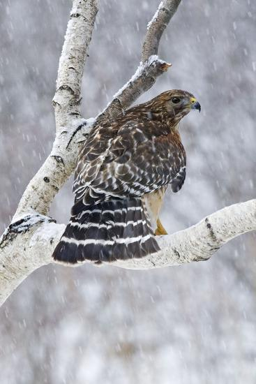 Red-Shouldered Hawk Adult Bird in Snowstorm--Photographic Print