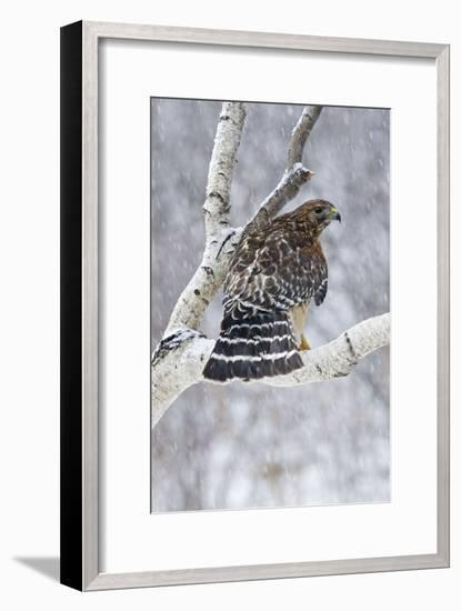 Red-Shouldered Hawk Adult Bird in Snowstorm--Framed Photographic Print
