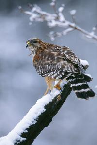 Red-Shouldered Hawk Adult in Snow
