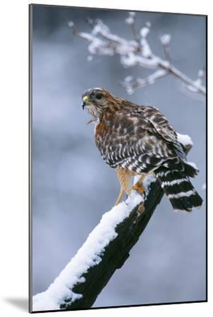 Red-Shouldered Hawk Adult in Snow--Mounted Photographic Print