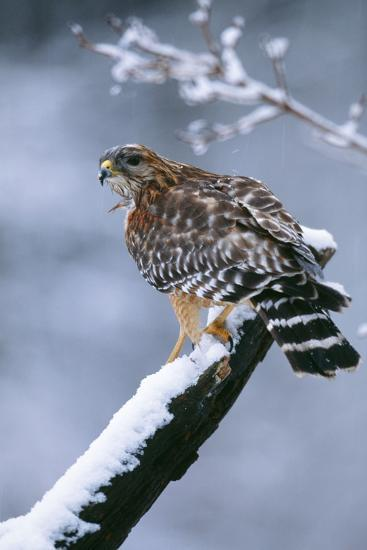 Red-Shouldered Hawk Adult in Snow--Photographic Print