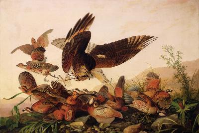 Red-Shouldered Hawk Attacking Bobwhite Partridges, 1827-John James Audubon-Giclee Print