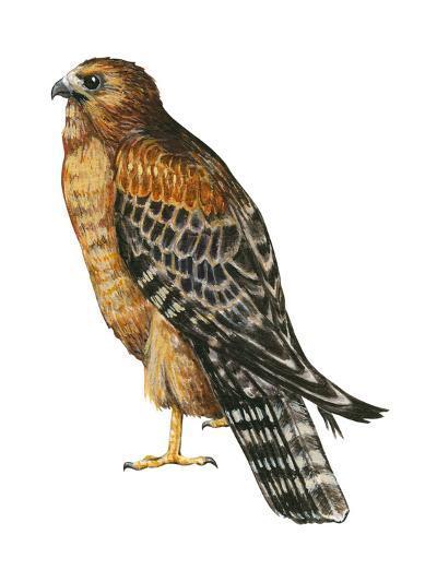 Red-Shouldered Hawk (Buteo Lineatus), Birds-Encyclopaedia Britannica-Art Print