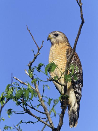 Red-Shouldered Hawk, Buteo Lineatus, Florida, USA-Arthur Morris-Photographic Print