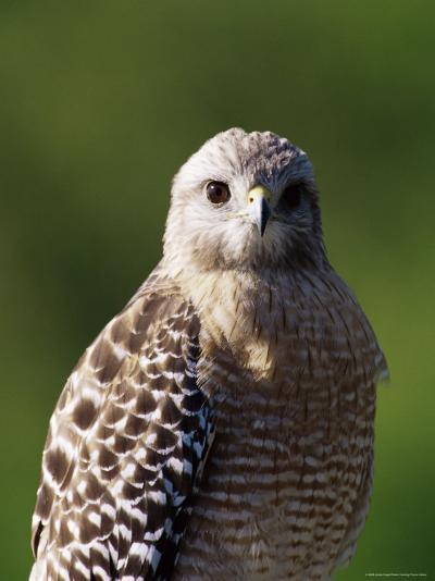 "Red-Shouldered Hawk (Buteo Lineatus), J. N. ""Ding"" Darling National Wildlife Refuge, Florida-James Hager-Photographic Print"