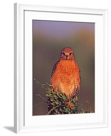 Red-shouldered Hawk in Early Morning Light, Everglades National Park, Florida, USA-Charles Sleicher-Framed Photographic Print
