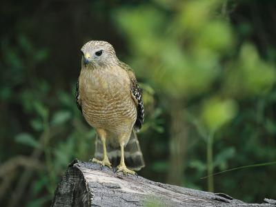 Red-Shouldered Hawk Perched on a Fallen Log-Raymond Gehman-Photographic Print