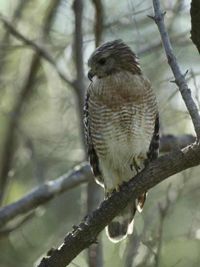 Red-Shouldered Hawk Perches in a Tree on Floridas Gulf Coast-Klaus Nigge-Photographic Print