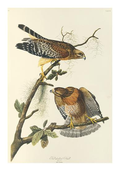 Red Shouldered Hawk-John James Audubon-Premium Giclee Print