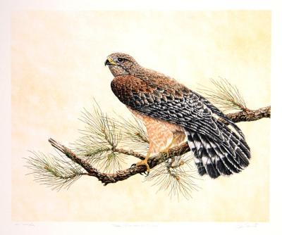 Red Shouldered Hawk-Chris Forrest-Limited Edition