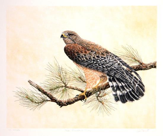 Red Shouldered Hawk-Chris Forrest-Limited Edition