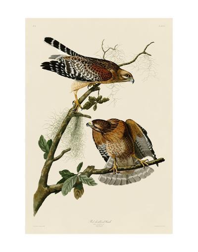Red-Shouldered Hawk-John James Audubon-Art Print