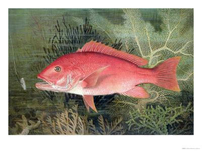 """Red Snapper, from """"Game Fishes of the United States,"""" Published 1878-S.a. Kilbourne-Giclee Print"""