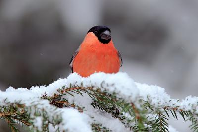 Red Songbird Bullfinch Sitting on Snow Branch during Winter. Wildlife Scene from Czech Nature. Beau-Ondrej Prosicky-Photographic Print