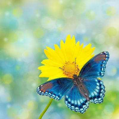Red-Spotted Purple Admiral On Yellow Coreopsis Flower-Sari ONeal-Photographic Print