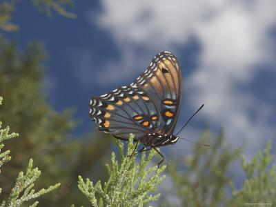 Red Spotted Purple Basilarchia Arthemis Has Lighted on a Juniper-George Grall-Photographic Print