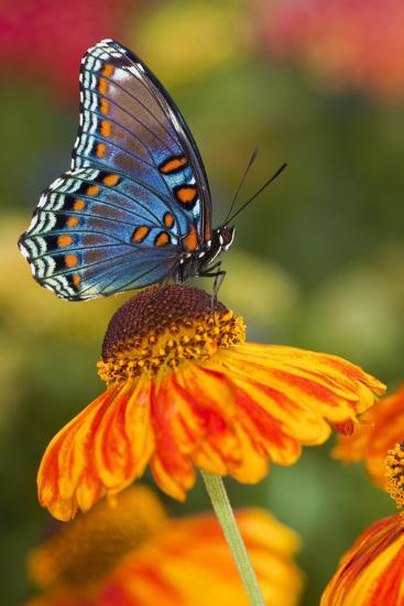 Red-Spotted Purple Butterfly-Darrell Gulin-Photographic Print