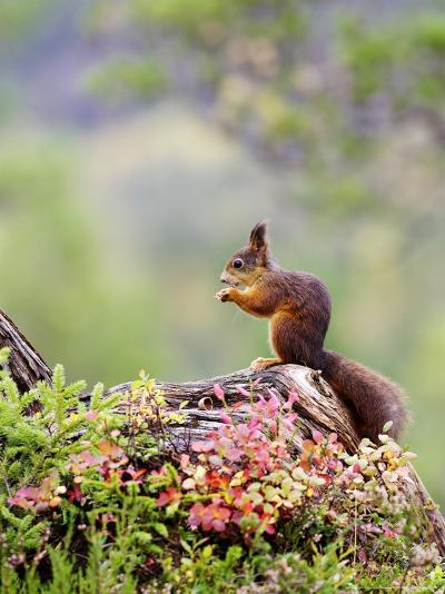 Red Squirrel, Adult Feeding on Hazelnut on Fallen Log in Forest in Autumn, Norway-Mark Hamblin-Photographic Print