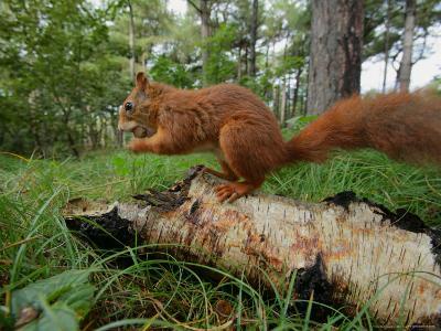 Red Squirrel, Eating, Lancashire, UK-Elliot Neep-Photographic Print