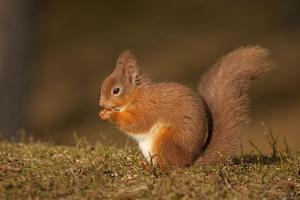Red Squirrel Eating Nuts on Woodland Floor