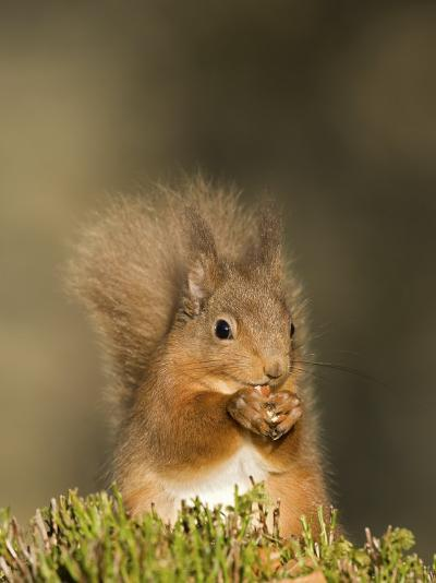 Red Squirrel Feeding, Cairngorms, Scotland, UK-Andy Sands-Photographic Print