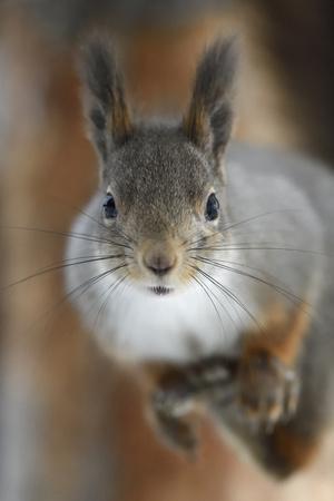 https://imgc.artprintimages.com/img/print/red-squirrel-in-winter-pelage-kalvtrask-vasterbotten-sweden-december_u-l-q1gend00.jpg?p=0