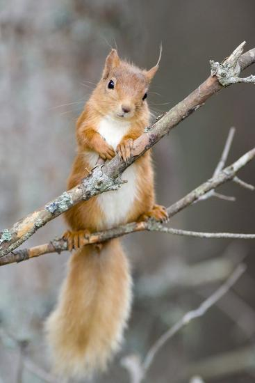 Red Squirrel on a Branch-Duncan Shaw-Photographic Print