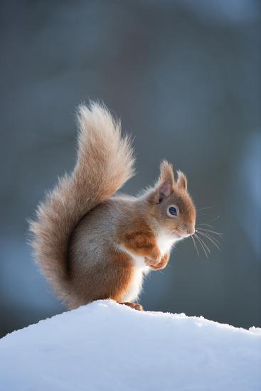Red Squirrel (Sciurus Vulgaris) Adult in Snow, Cairngorms National Park, Scotland, February-Mark Hamblin-Photographic Print