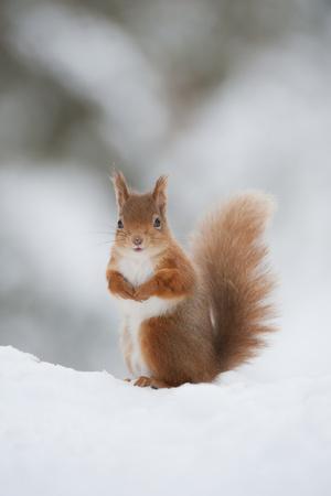 https://imgc.artprintimages.com/img/print/red-squirrel-sciurus-vulgaris-adult-in-snow-cairngorms-national-park-scotland-february_u-l-q10o7500.jpg?p=0