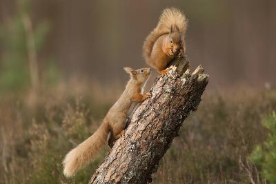 Red Squirrel (Sciurus Vulgaris) Approaching Another as it Eats a Nut, Cairngorms Np, Scotland-Peter Cairns-Photographic Print