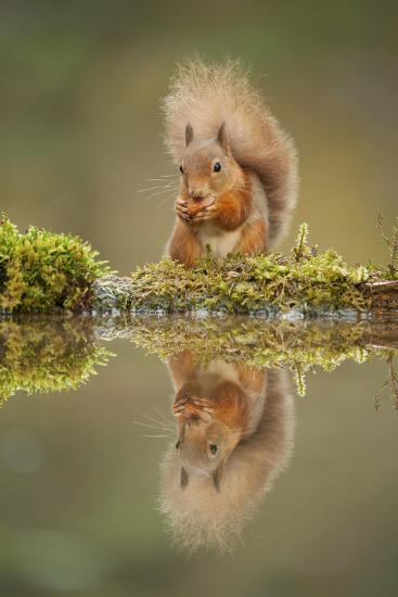 Red Squirrel (Sciurus Vulgaris) at Woodland Pool, Feeding on Nut, Scotland, UK, November-Mark Hamblin-Photographic Print