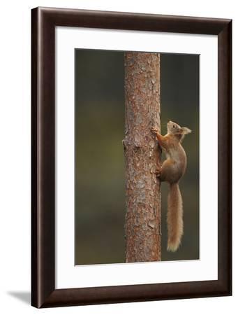 Red Squirrel (Sciurus Vulgaris) Climbing a Pine (Pinus) Trunk, Highlands, Scotland, UK, February-Luke Massey-Framed Photographic Print