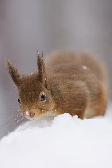 Red Squirrel (Sciurus Vulgaris) Foraging in Snow, Glenfeshie, Cairngorms Np, Scotland, February-Cairns-Photographic Print