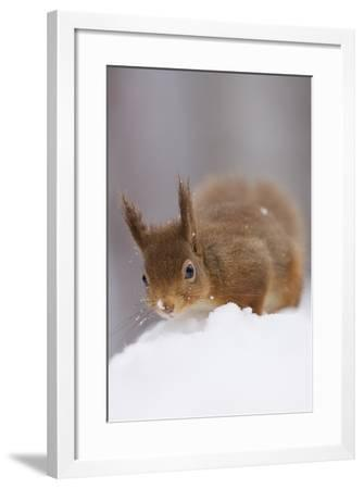 Red Squirrel (Sciurus Vulgaris) Foraging in Snow, Glenfeshie, Cairngorms Np, Scotland, February-Cairns-Framed Photographic Print