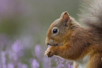 Red Squirrel (Sciurus Vulgaris) in Flowering Heather. Inshriach Forest, Scotland, September-Peter Cairns-Photographic Print