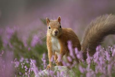 Red Squirrel (Sciurus Vulgaris) in Flowering Heather. Inshriach Forest, Scotland, UK, September-Pete Cairns-Photographic Print