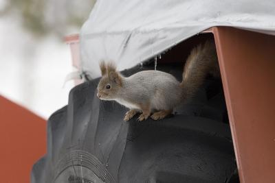 Red Squirrel (Sciurus Vulgaris) on Wheel of Snow Plough, Oulu, Finland, March-David Tipling-Photographic Print