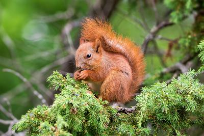 Red Squirrel Sitting in A Juniper Tree-stefanholm-Photographic Print