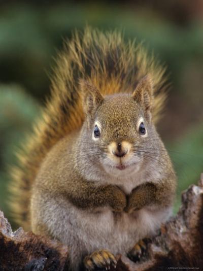 Red Squirrel Sitting on Tree Snag, Alaska-Michael S^ Quinton-Photographic Print