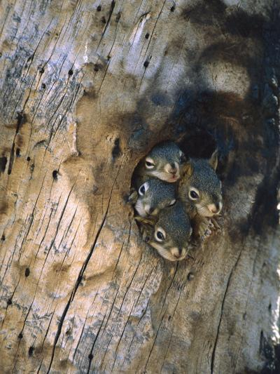 Red Squirrel (Tamiasciurus Hudsonicus) Four Young at Entrance to Nest in a Tree, Alaska-Michael S^ Quinton-Photographic Print