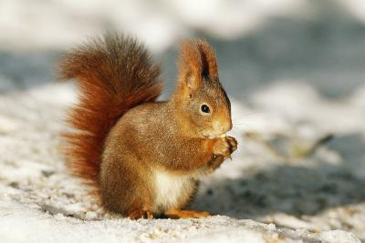 Red Squirrel--Photographic Print