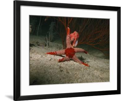 Red Starfish On Sandy Bottom, Indonesia-Stocktrek Images-Framed Photographic Print