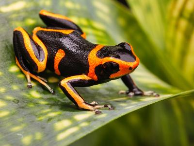 Red Striped Poison Dart Frog-kikkerdirk-Photographic Print